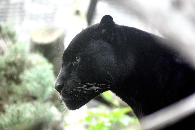 panther-448975_640